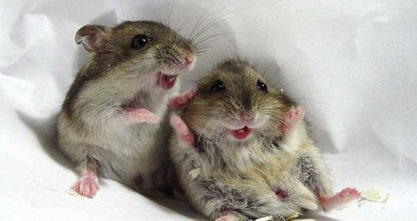 significado-soñar-ratas
