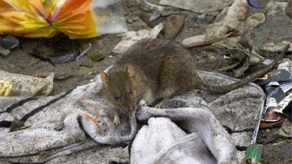 soñar-ratas-la-matamos