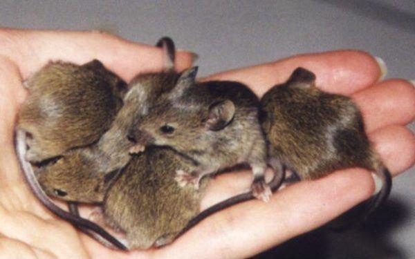 soñar-ratas-muchas-ratas