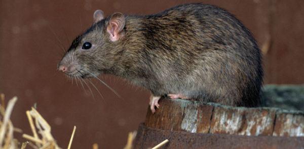 soñar-ratas-no-tener-miedo