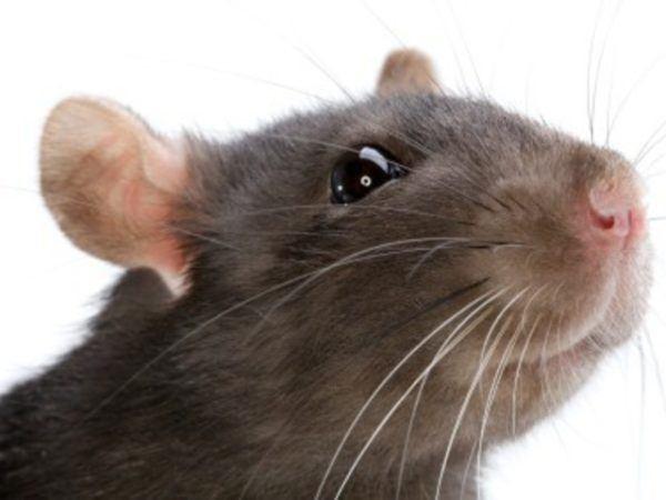 soñar-ratas-una-rata