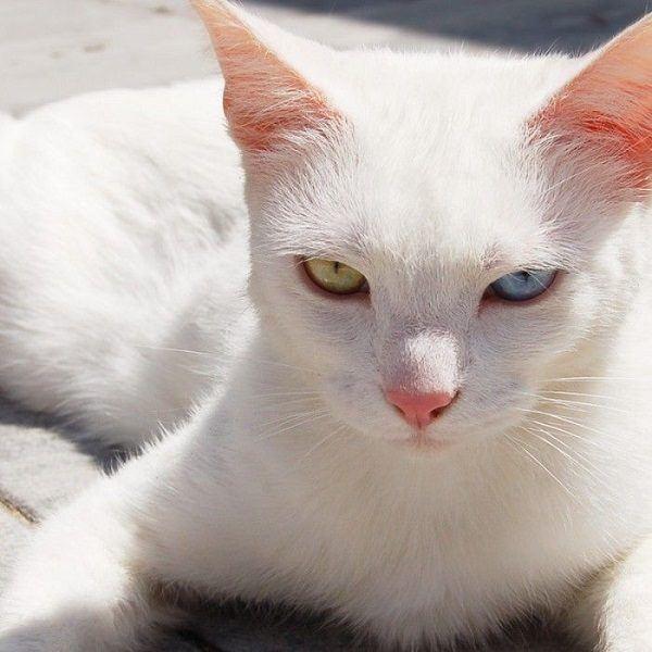 ser-perseguido-en-suenos-por-un-gato-blanco