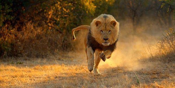 ser-perseguido-en-suenos-por-un-leon
