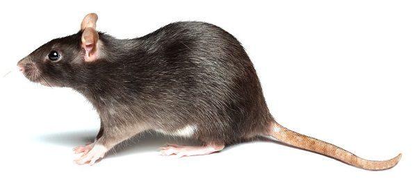 ser-perseguido-en-suenos-por-una-rata