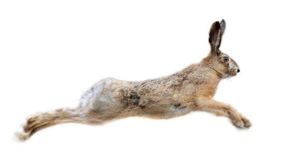 Origen del amuleto de la pata de conejo
