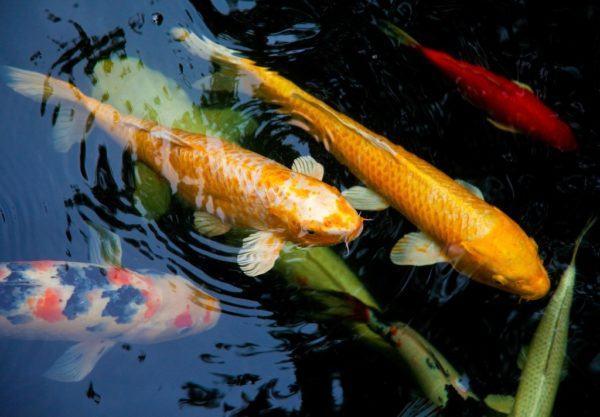 Pez dorado buena suerte for Fuentes de agua con peces