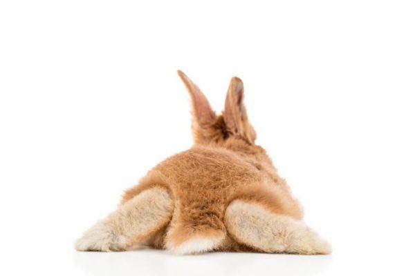 Precio pata de conejo